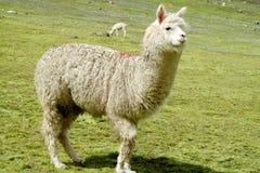 Biały lama na zielonej łące Zdjęcia Royalty Free
