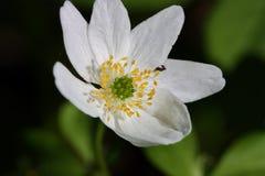 Biały lasowy kwiatu zakończenie up Fotografia Stock