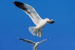 Biały latający dziki seagull w niebieskim niebie Obraz Stock