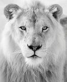Biały lew zdjęcia royalty free