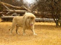Biały lew Obrazy Royalty Free
