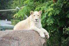 Biały lew fotografia royalty free