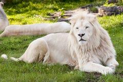 Biały lew obraz stock