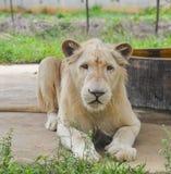 Biały lew przy zoo obrazy royalty free