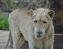 Biały lew przy zoo zdjęcie royalty free