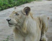Biały lew przy zoo zdjęcie stock