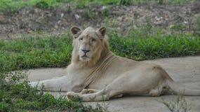 Biały lew przy zoo zdjęcia royalty free
