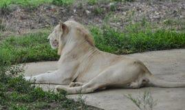 Biały lew przy zoo fotografia stock