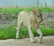 Biały lew przy zoo zdjęcia stock