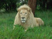 Biały lew w Afryka w repose Zdjęcia Royalty Free