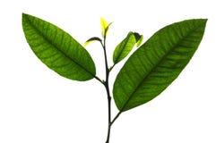 biały liść Obraz Stock