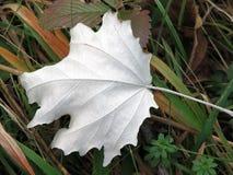 Biały liść Zdjęcie Stock