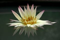 Biały Lotos Zdjęcie Royalty Free