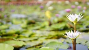 Biały lotos, biała wodna leluja w ogródzie Fotografia Royalty Free
