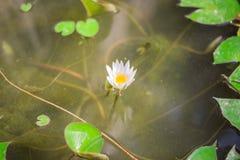 Biały lotos i zieleń Obraz Stock