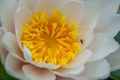 Biały lotos kwitnął w jaskrawych i odświeżających ranku światła słonecznego ofertach relaksujący ambiance fotografia royalty free