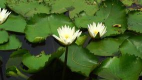 Biały lotos na rzece zbiory