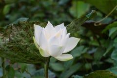 Biały lotos na zielonym rozmytym tle Obraz Royalty Free