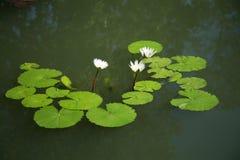 Biały lotos, wodna leluja/ obraz stock