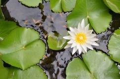 Biały lotos, wodna leluja w stawie obraz royalty free