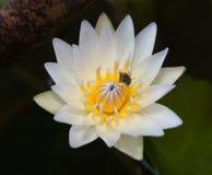 Biały lotosowego kwiatu okwitnięcie z pszczołą Fotografia Royalty Free