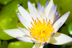 Biały lotosowego kwiatu pełny kwiat Obraz Stock