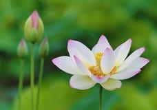 Biały Lotosowy kwiat Obrazy Royalty Free