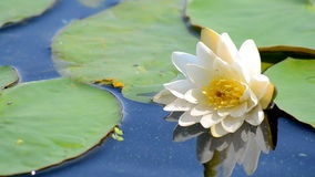 Biały lotosowy kwiat. zdjęcie wideo