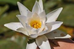 Biały lotosowy kwiat i liście na jeziorze skadar w Montenegro zdjęcie royalty free