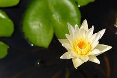 Biały Lotosowy kwiat i stamen obrazy royalty free