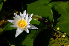 Biały Lotus na powierzchni świątyni publicznie Obraz Royalty Free