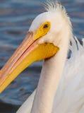 Biały męski pelikana zakończenie up Fotografia Royalty Free