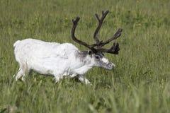 Biały męski Reniferowy odprowadzenie w marshy łące Fotografia Royalty Free