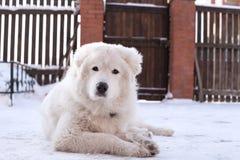 Biały młody Sheepdog portret Zdjęcia Royalty Free