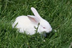 Biały mały królik plenerowy na zielonej trawie Obraz Royalty Free