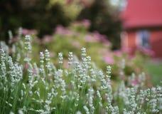 Biały mały kwiat Obraz Royalty Free