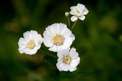 Biały mały kwiat na ciemnozielonym tle Pionowo fotografie Obraz Stock