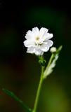 Biały mały kwiat na ciemnozielonym tle Pionowo fotografie Obrazy Royalty Free