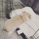 Biały mały pies śpi swobodnie przyrodniego sposób w jego klatce zdjęcia stock