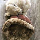 Biały mały pies śpi swobodnie właśnie obok jego łóżka obraz royalty free