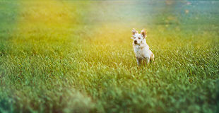 Biały mały pies w polu Obrazy Royalty Free