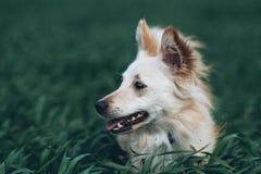Biały mały pies w polu Obraz Stock