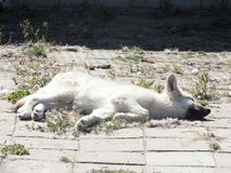 Biały mały wilk Obrazy Royalty Free