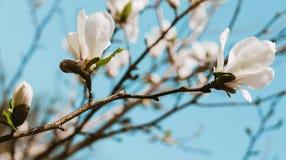 Biały magnoliowy kwitnienie na niebieskim niebie fotografia stock
