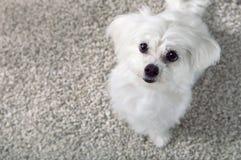 Biały maltese psa obsiadanie na dywanie fotografia stock