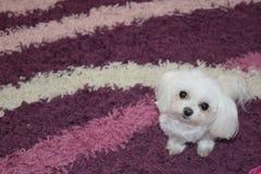 Biały maltese psiej głowy portreta widok fotografia stock