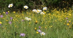 Biały marguerite lub stokrotki kwiat na łące w wiosna popióle zbiory wideo