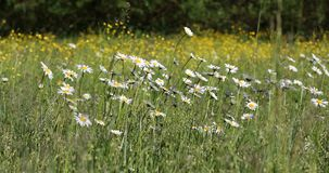 Biały marguerite lub stokrotki kwiat na łące w wiosna popióle zbiory