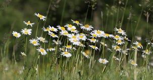 Biały marguerite stokrotki kwiatu łąki pole zdjęcie wideo