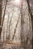 Biały marznący zima magiczny las w ranku świetle Fotografia Stock